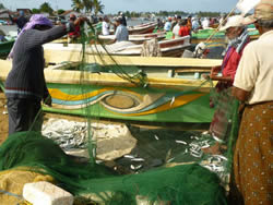 Assessments of indian mackerel and hilsa fisheries in the Bay of Bengal - Sri Lanka gillnets (FAO/BOBLME 2010)