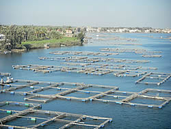Value-chain analysis of Egyptian tilapia farming (2011)