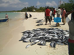 Maldives skipjack landings
