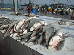 Landing of shark of the Yemen Hadramout coast