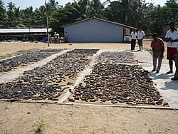 Beche de mer value chain analysis in Sri Lanka(FAO/CAN, 2009)