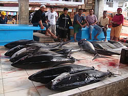 Yellow fin tuna evaluation, Manado, Indonesia, WWF, 2009